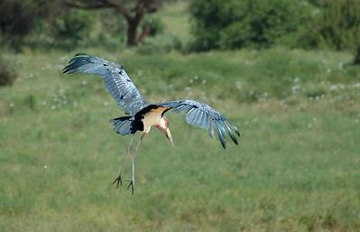 """Maribou Stork, Tsavo East"""