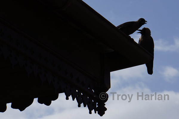 Crows in Stone Town