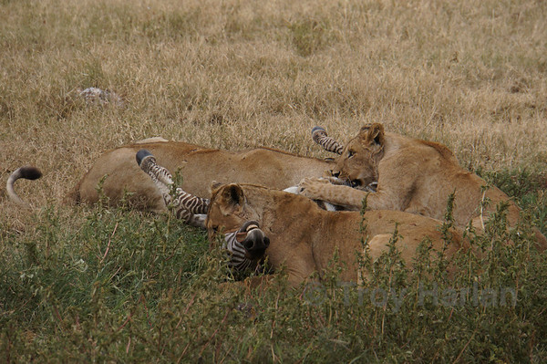 """""""The Kill"""" - Others eat the zebra alive while the lead lion suffocates it"""