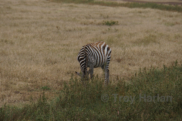"""The Kill"" - Zebra eats peacefully and completely unaware"
