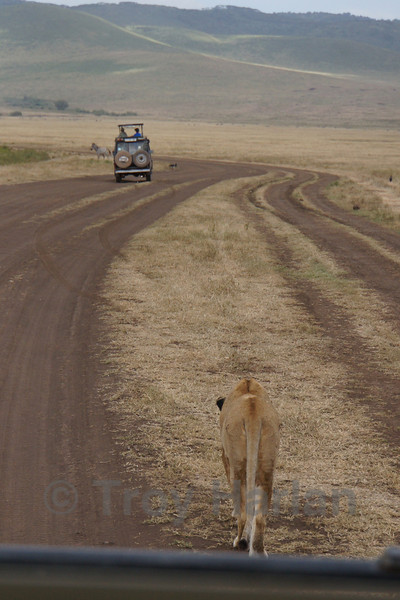 """""""The Kill"""" - Female lion sees a lone zebra and leads the pursuit"""