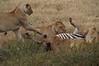 """The Kill"" - The zebra continues to kick"