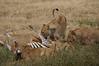 """""""The Kill"""" - More lions come in"""