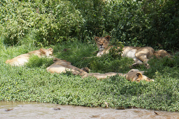Sleepy pride of lions, but they'll be hungry later...