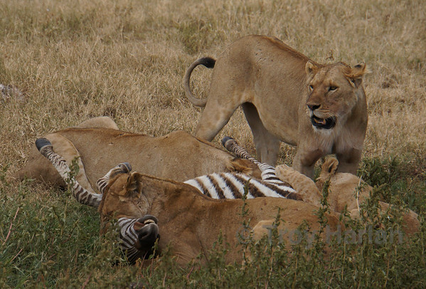 """""""The Kill"""" - Others continue to eat the zebra alive while the lead lion suffocates it"""