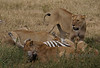 """The Kill"" - Others continue to eat the zebra alive while the lead lion suffocates it"