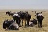 Wildebeests