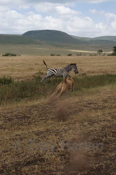 """The Kill"" - Zebra runs in horror (notice the lion's dust)"