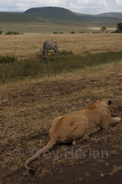 """""""The Kill"""" - The zebra gets even closer, still completely unaware that it's being closely watched"""