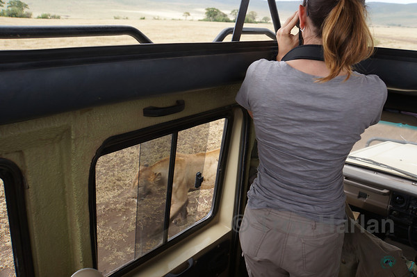 """""""The Kill"""" - This lion leaves right by our car. Julie's safe even with an open window."""