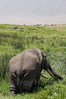 Elderly elephant eating softer vegetation