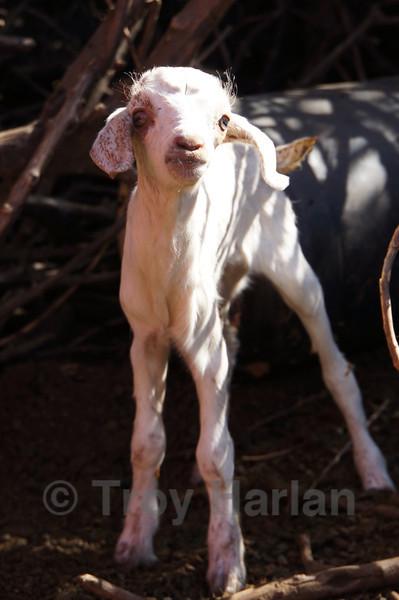 Baby goat at Maasai village