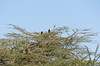 African Fish Eagles