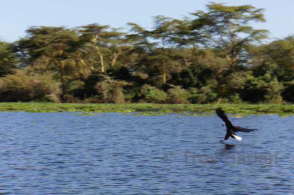 African Fish Eagle catching a fish frame 2 of 5