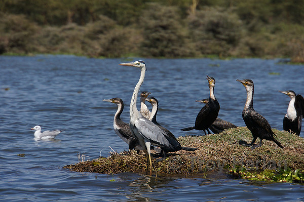 Cormorants and heron