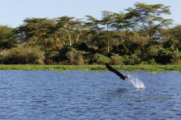 African Fish Eagle catching a fish frame 3 of 5