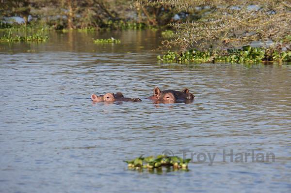 Hippos on Lake Naivash
