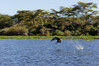African Fish Eagle catching a fish frame 4 of 5