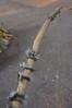 Hadzabe bushmen hunting bow