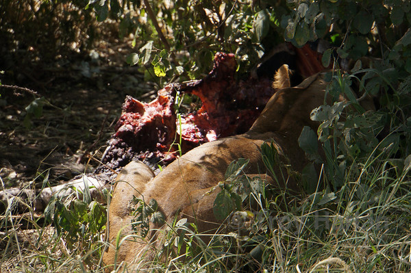 Lion eating day old zebra carcass