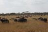 Buffalo migrating
