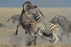 Chapman zebras fighting in Etosha National Park, Namibia