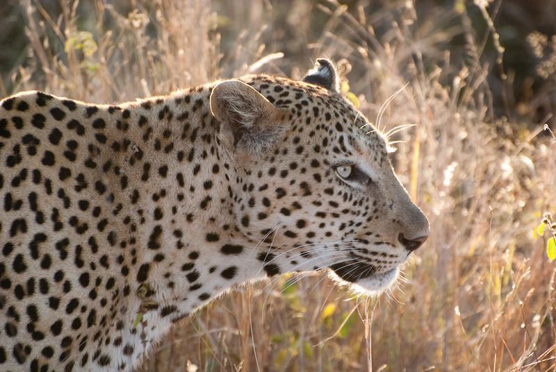 """<span id=""""title"""">Leopard</span> <em>Kruger National Park</em>"""