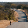 "<span id=""title"">Leopard on Road</span> <em>Kruger National Park</em> And then, right as we were leaving, we came across a leopard walking casually along the road.."