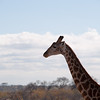 "<span id=""title"">Head in the Clouds</span> <em>Balule Game Reserve</em> This is the giraffe leaving - they didn't really want to hang out while we watched them."