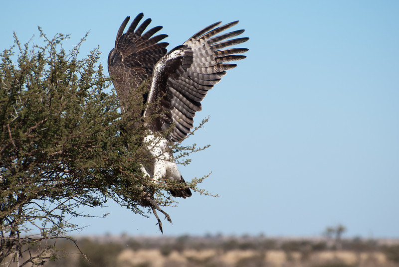 """<span id=""""title"""">Not Eagle Feet</span> <em>Kruger National Park</em> This was when the eagle basically fell out of the tree - and when we realized it was holding onto a dead bird. See? Those are its feet. Such beautiful wings, though."""