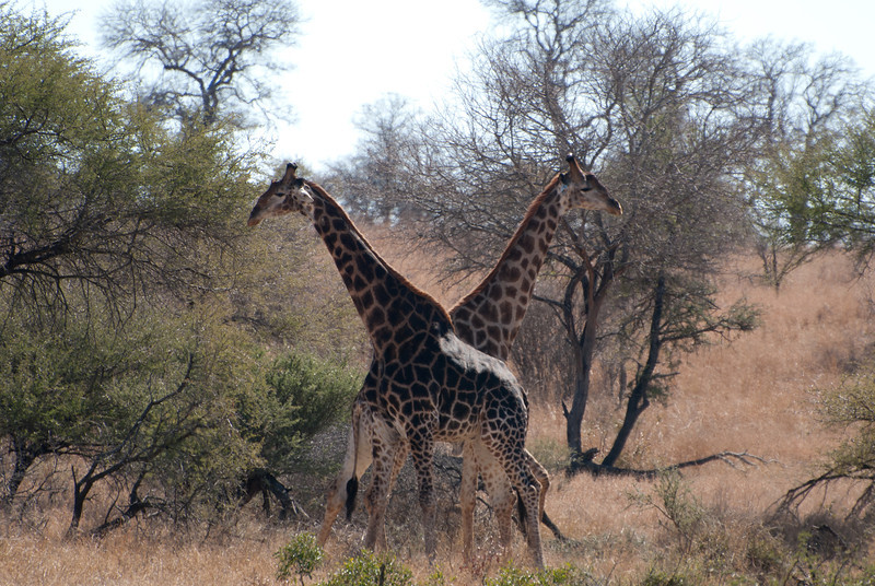 "<span id=""title"">Giraffe Fight 3</span> <em>Kruger National Park</em> This photo might look serene, but they're just taking a short break from whacking each other with their heads. It's a little weird to watch animals fight that don't' make any noise."