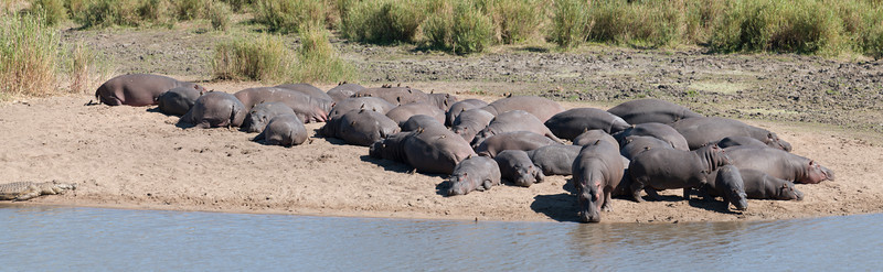 """<span id=""""title"""">Hippo Pano</span> <em>Kruger National Park</em> This is a 7-shot panorama of the hippos seen in the previous photo. You can see how many there are, how fat they all are, and how most of them are asleep. You can also see how the hippos and crocs live harmony. I bet there's a folk tale about it..."""