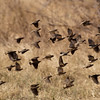"""<span id=""""title"""">Back to the Bush!</span> <em>Tremisana Game Lodge</em> Here it looks a little more organized as they all fly back to their bush."""