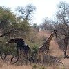 "<span id=""title"">Giraffe Fight 5</span> <em>Kruger National Park</em> Dark giraffe looks defeated, but it's actually just another break in the fighting. Our guide told us the color isn't significant, the left giraffe isn't older or anything like that. Just darker."