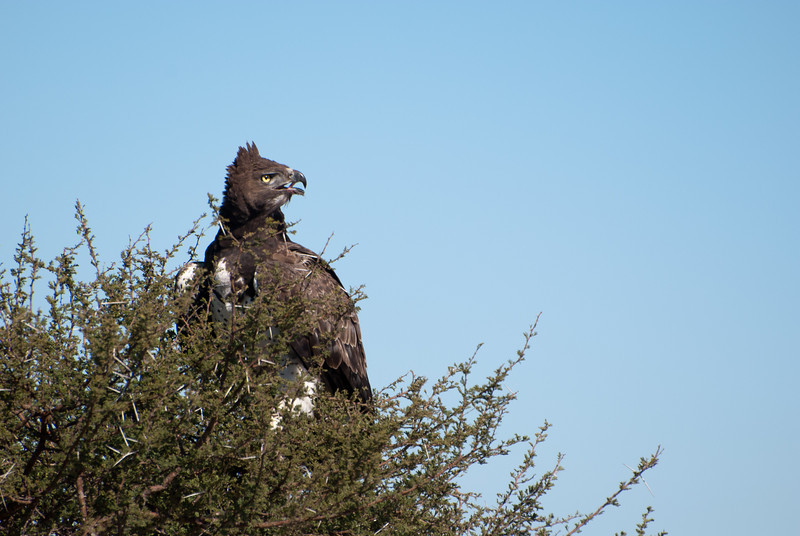 """<span id=""""title"""">Martial Eagle Calling</span> <em>Kruger National Park</em> Until we realized it had a kill, the eagle seemed to be acting a little weird. It almost fell out of the tree, and that's when we realized it had something in its talons. our guide told us that martial eagles are not at the top of the eagle hierarchy, and so it was probably worried about another larger eagle stealing it's food."""