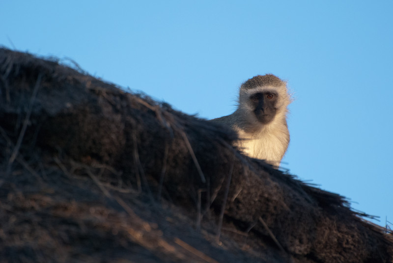 """<span id=""""title"""">Monkey</span> <em>Tremisana Game Lodge</em> At Tremisana there is some nice vegetation that gets watered, including a fairly large tree that these monkeys live in. Apparently they go out into the bush during the day, but always return at night where they're behind a big electric fence. They're not dumb."""