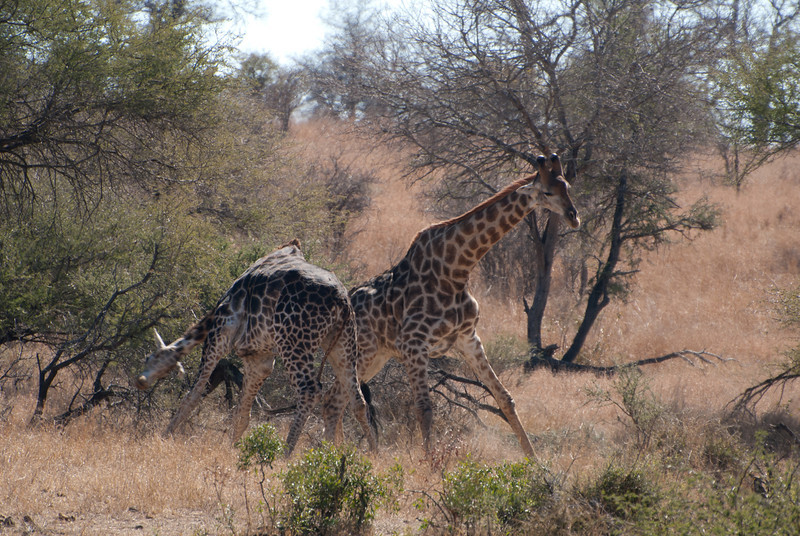 """<span id=""""title"""">Giraffe Fight 4</span> <em>Kruger National Park</em> This is a pretty good whack right here. I'd imagine their back hips are pretty sore at this point. I wish we could have figured out what they were fighting about. If it was females, they were nowhere in sight."""