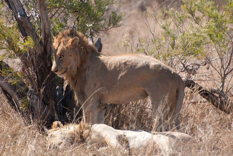 """<span id=""""title"""">Lion Standing Up!</span> <em>Kruger National Park</em> A lion standing up! This was pretty much the most exciting thing we saw them do. Of course, they're nocturnal so I can't really blame them."""