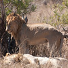 "<span id=""title"">Lion Standing Up!</span> <em>Kruger National Park</em> A lion standing up! This was pretty much the most exciting thing we saw them do. Of course, they're nocturnal so I can't really blame them."