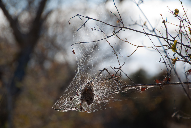 """<span id=""""title"""">Spider Nest</span> <em>Balule Game Reserve, Bush Walk</em> Although I never saw an actual spider, there were lots of nests around with leaves and webs. I didn't expect to see many insects, though, as it was about 40 degrees F at night."""