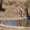 "<span id=""title"">Thirsty Jackal</span> <em>Tremisana Game Lodge</em> The only non-bird that came to the water hole was this jackal. It was incredibly skittish and ran away when it realized I was there."