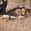"<span id=""title"">Groggy</span> <em>Kruger National Park</em> Another shot of the sleepy lions."
