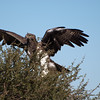 "<span id=""title"">Martial Eagle Wings</span> <em>Kruger National Park</em> Despite other eagles circling in the area, the martial eagle got ready to take off with its food."