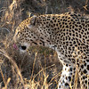 "<span id=""title"">Lip Licking</span> <em>Kruger National Park</em> Maybe it had just eaten? Perhaps that would explain the super-relaxed behavior? Shortly after this photo, it walked into the bush and disappeared out of view, leaving us all smiling."