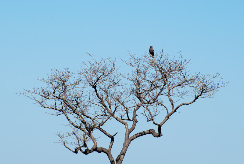 """<span id=""""title"""">Brown Snake Eagle</span> <em>Kruger National Park</em> I took a break from photographing warthogs and turned around to get this shot of a brown snake eagle in a tree. I'm really impressed that our guide immediately knew what kind of bird this was from so far away."""