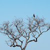 "<span id=""title"">Brown Snake Eagle</span> <em>Kruger National Park</em> I took a break from photographing warthogs and turned around to get this shot of a brown snake eagle in a tree. I'm really impressed that our guide immediately knew what kind of bird this was from so far away."