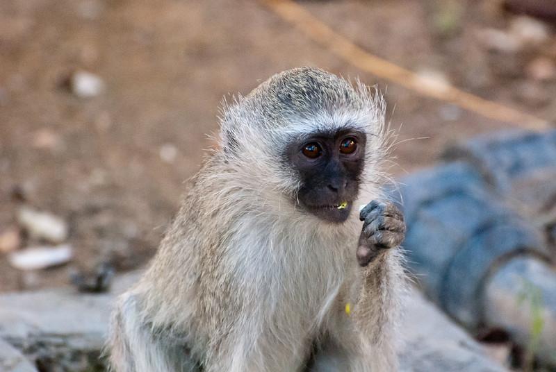"<span id=""title"">Baby Monkey Eating</span> <em>Tremisana Game Lodge</em> Aww, so cute."