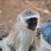"<span id=""title"">Baby Monkey Eating</span> <em>Tremisana Game Lodge</em> Aww, so cute."