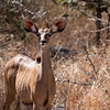 "<span id=""title"">Nyala Ears</span> <em>Kruger National Park</em> This is the only nyala we saw outside of Marc's Treehouse Lodge. I can't believe the ears... they're ridiculous."