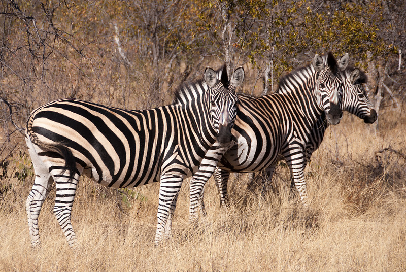 """<span id=""""title"""">Zebras +1?</span> <em>Balule Game Reserve</em> Is there another little one on the way? From the looks of that second zebra, yes, pretty soon."""